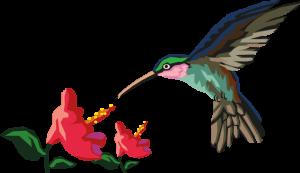 Colibri butinant dans une fleur